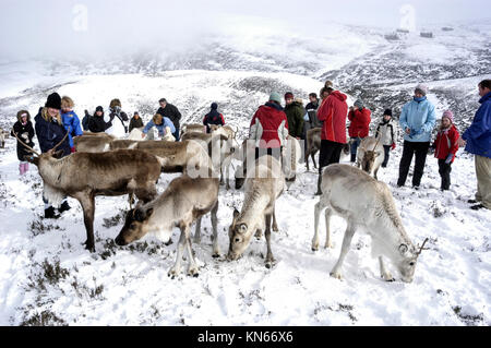 Visitors invited to feed the Cairngorm Reindeer herd.   They are Britain's only herd found roaming free in the Cairngorm - Stock Photo