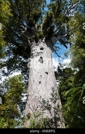Tane Mahuta one of the largest remaining Kauri Trees in the world. It is found in the Waipoua Rainforest near Dargaville, - Stock Photo
