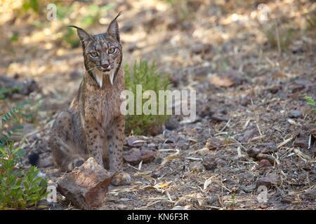 Iberian lynx or Lynx pardinus at wild life park.
