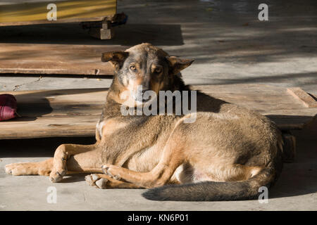 Well fed and healthy looking stray dog resting at temple in Mcleod Ganj, India - Stock Photo