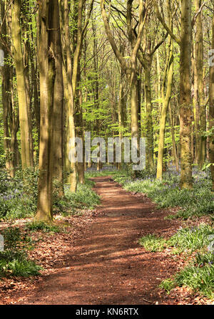 Dappled Sunshine on an English Woodland track lined with Spring Bluebells in the Chilterns - Stock Photo