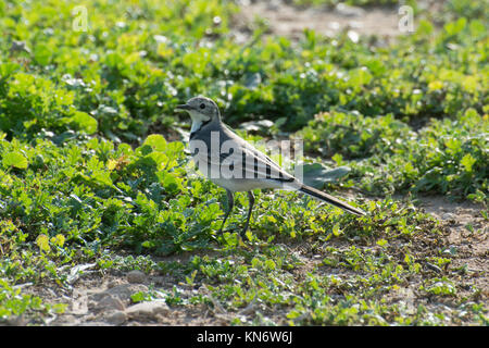 White wagtail (Motacilla alba) in Cyprus - Stock Photo
