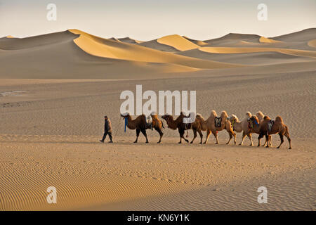 Man leading Bactrian camels through Gobi Desert near Ejina Qi, Inner Mongolia, China - Stock Photo