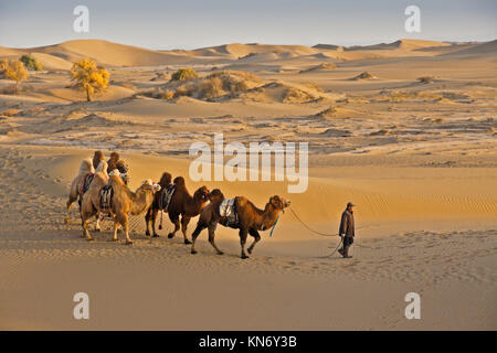 Man leading Bactrian camels through Gobi Desert with poplar trees in autumn color near Ejina Qi, Inner Mongolia, - Stock Photo