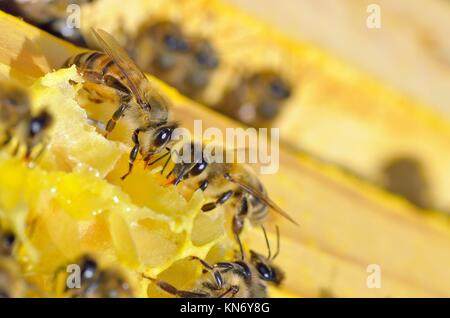 Close up of bees in a beehive on honeycomb. - Stock Photo