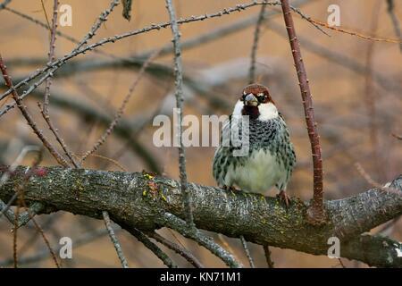 Spanish Sparrow Passer hispaniolensis, Greece - Stock Photo