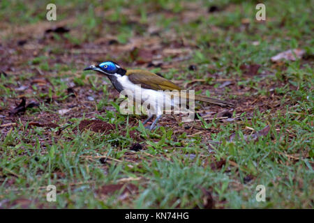 Blue faced honeyeater adult foraging on the ground in Queensland Australia - Stock Photo