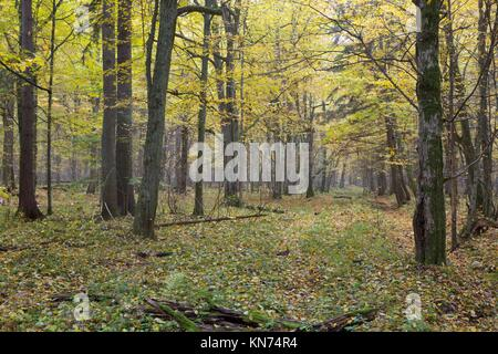 Old hornbeam trees in autumnal landscape of primeval deciduous stand of Bialowieza Forest,Poland,Europe. - Stock Photo