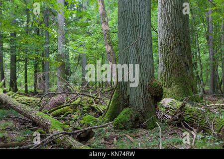 Two giant oaks in natural forest and dead wood in foreground. - Stock Photo