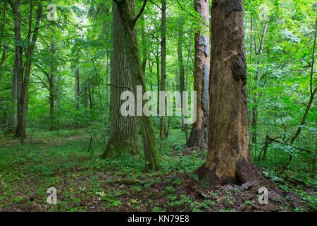 Barkless spruces and old oak in old summertime deciduous stand of Bialowieza Forest,Bialowieza Forest, Poland, Europe. - Stock Photo