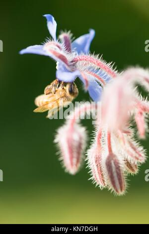 Bee close up. Beautiful summer nature detail with pollination of flower in garden. Concept of making honey, ecosystem - Stock Photo