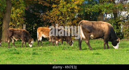 Cow with calf on a meadow grazing - North Rhine-Westphalia - Germany. - Stock Photo