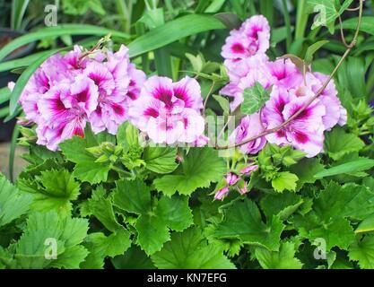 Pink Geranium flowers closeup, buds Pelargonium and leaves in May garden. - Stock Photo