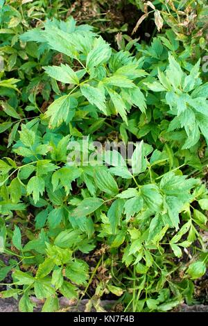 Love Parsley Levisticum officinale plant in vegetable garden, Sweden. The plant has many common names such as Lovage, - Stock Photo