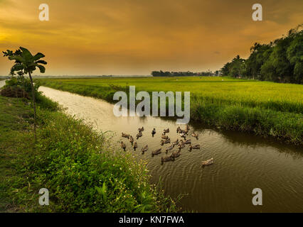 ducks on the canal at sunset, rice fields, Hoi An City, Vietnam - Stock Photo