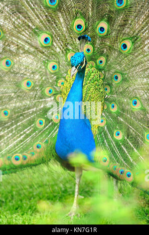 Beautiful indian peacock with fully fanned tail - Stock Photo