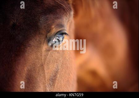 Eye of Arabian bay horse - Stock Photo