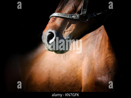 Close-up beautiful horse head isolated on black background - Stock Photo