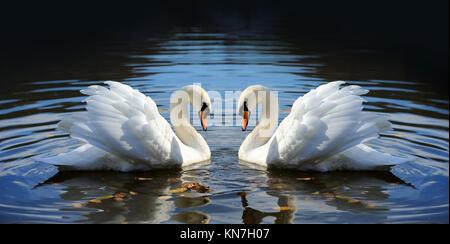 Close beautiful swan swimming in the lake - Stock Photo
