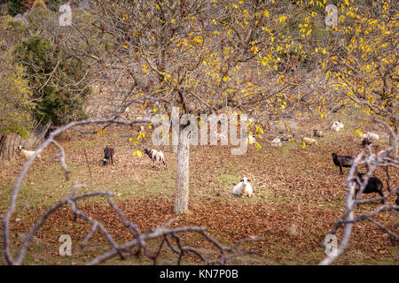 Sheep resting and grazing in an autumn field in Arcadia, Peloponnese, Greece. - Stock Photo