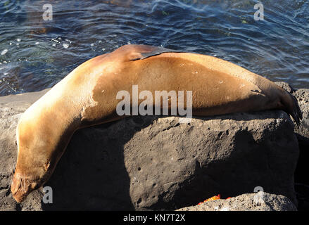 A Galápagos sea lion (Zalophus wollebaeki) sleeps in a most uncomfortable looking position on rocks by the harbour - Stock Photo