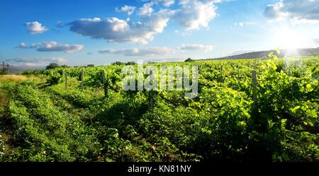 Beautiful green vineyard in sunny summer day. - Stock Photo