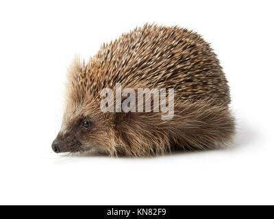 Single hedgehog on white background. - Stock Photo