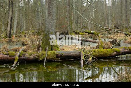 Spring landscape of first in old stand of Bialowieza forest and partly frozen water with broken tree in foreground,Bialowieza - Stock Photo