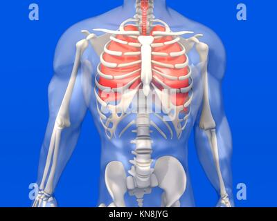 3D visualization of the human anatomy. The Lungs in a semi-transparent adult male body.. - Stock Photo