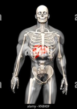 3D visualization of the human anatomy. The Liver in a semi-transparent adult male body.. - Stock Photo