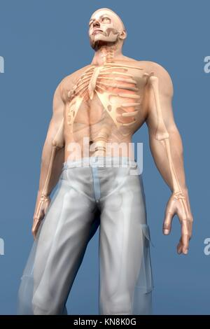 3D visualization of the human anatomy. The Internal Organs in a semi transparent male body.. - Stock Photo