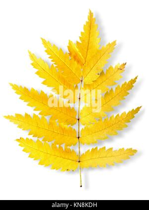Autumn leaf of a mountain ash isolated on a white background. - Stock Photo