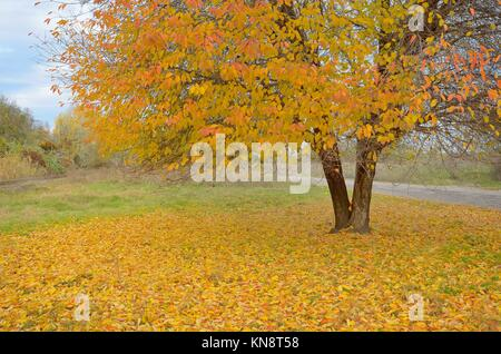 Lonely beautiful autumn tree and fallen leaves. - Stock Photo