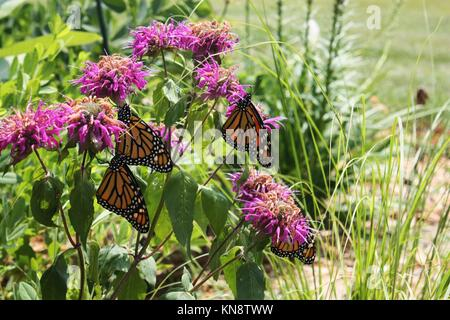 Close up of four Monarch butterflies resting on Bee balm in a garden in Trevor, Wisconsin, USA. - Stock Photo