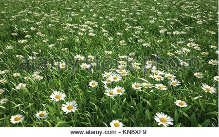 Grass meadow, bird eye view, plenty of daisy flowers, quite close up view. - Stock Photo