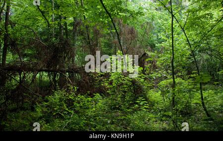 Fresh deciduous stand in springtime with broken spruce in background, Bialowieza Forest, Poland, Europe. - Stock Photo