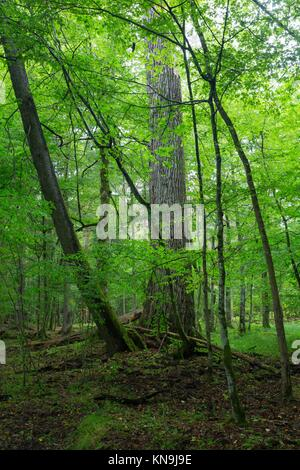 Old oak tree in hornbeam mainly deciduous stand,Bialowieza Forest,Poland,Europe. - Stock Photo