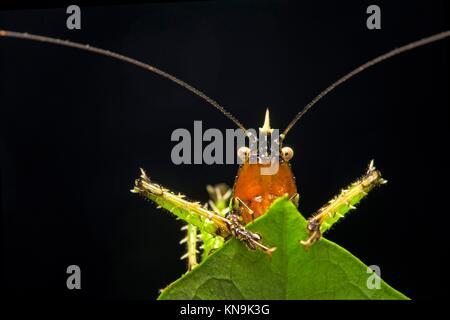 Spiny devil katydid (Panacanthus various), (Tettigoniidae family), Amazon rainforest, Canande River Reserve, Choco - Stock Photo