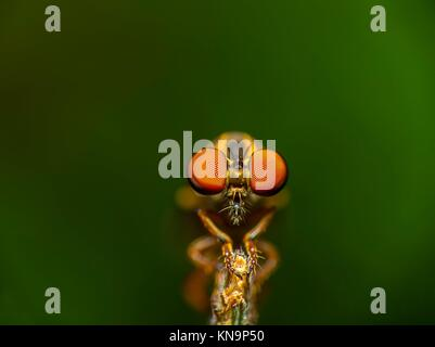 compound eyes of a robberr fly in focus. - Stock Photo
