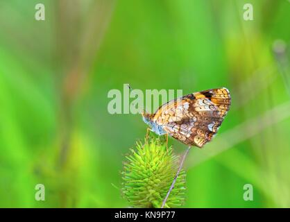 A closer photo of Silvery Checkerspot butterfly. - Stock Photo