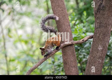 Guayaquil Squirrel (Sciurus stramineus), a tree squirrel endemic to Ecuador and Peru, Squirrel family (Sciuridae), - Stock Photo