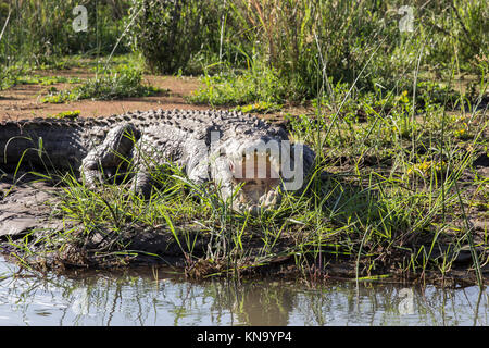 a giant crocodile with the open moutrh on the bank of chamo lake - Stock Photo