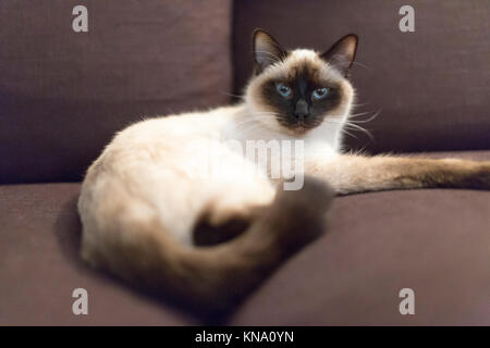 A cat, a cross between a burmese and a persian, is lying on a brown sofa - Stock Photo