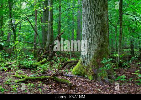 Primeval deciduous stand of natural forest in summer with old oak in foreground,Bialowieza Forest,Poland,Europe. - Stock Photo