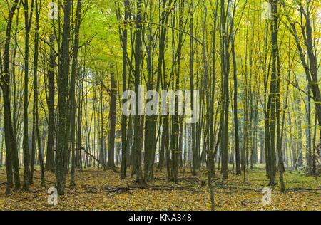 Hornbeam trees in autumnal landscape of primeval deciduous stand, Bialowieza Forest, Poland, Europe. - Stock Photo