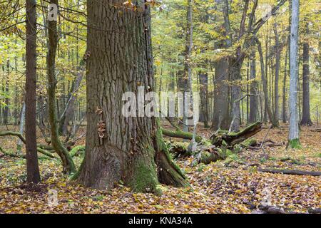 Old oak tree in autumnal landscape of deciduous stand, Bialowieza Forest, Poland, Europe. - Stock Photo