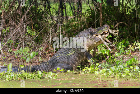 American alligator at Brazos Bend State Park eating a remins of  deer - Stock Photo