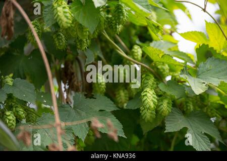 Hop farm with organic hops growing on a vine ready for harvest. - Stock Photo
