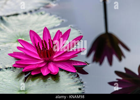 Close Up of Purple Tropical Water Lily at a Pond  in Sg Lui Malaysia - Stock Photo