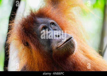 Orangutan in the jungle in Bukit Lawang, Sumatra, Indonesia. - Stock Photo